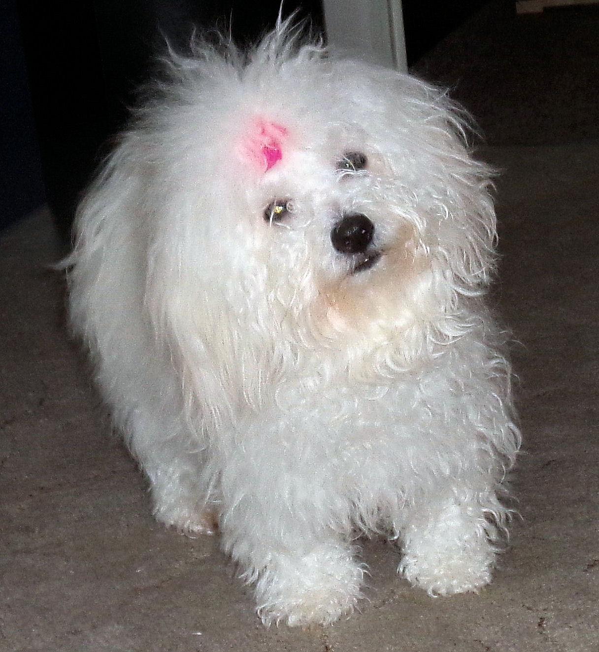 DEBBY WHITE STAR Pramaju, věk: 13 měsíců